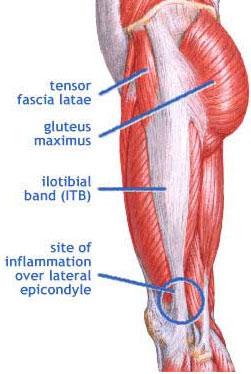 Mišići butine
